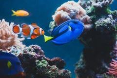 Hepatus van surgeonfishparacanthurus van aquariumvissen blauwe royalty-vrije stock afbeeldingen