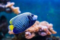 Hepatusvissen stock fotografie