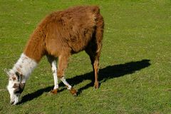 Lama glama in the pasture stock image