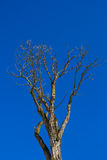 Her tree against blue sky Stock Photography