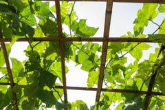 Hera amarga da cabaça no cultivo da exploração agrícola Imagem de Stock Royalty Free