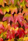 Hera de Boston, tricuspidata do Parthenocissus, Foto de Stock