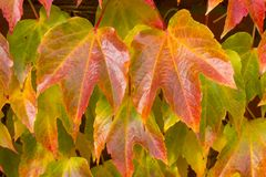 Hera de Boston, tricuspidata do Parthenocissus, Fotografia de Stock