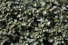 Hera que cresce em uma parede Fotos de Stock