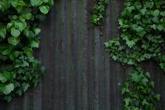 Hera que cresce na lata derramada em Cornualha Fotografia de Stock
