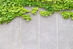 A hera que cresce na parede de pedra imagem de stock
