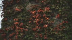 A hera sae na parede de tijolo, na estação do outono, na tristeza e na melancolia, solidão vídeos de arquivo