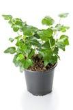Hera verde Foto de Stock