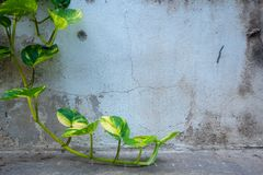 Hera verde fresca no fundo velho da parede do cimento foto de stock royalty free
