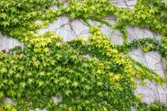 Hera verde no muro de cimento imagem de stock