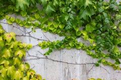 Hera verde no muro de cimento foto de stock
