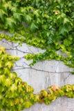 Hera verde no muro de cimento fotos de stock