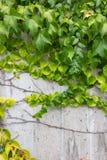 Hera verde no muro de cimento fotos de stock royalty free