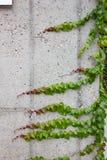 Hera verde no muro de cimento imagens de stock royalty free