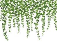 Hera verde Planta de escalada da parede da trepadeira que pendura de cima de Fundo das videiras da hera da decoração do jardim ilustração do vetor