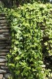 Hera verde que cobre a parede de pedra foto de stock