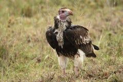 Herabhängender Teil stellte den Geier gegenüber, der auf Wiese in Serengeti steht lizenzfreie stockfotos