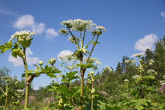 Heracleum Foto de Stock Royalty Free