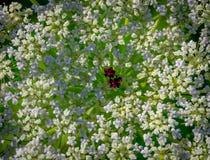 Heracleum bonito da pastinaga de vaca Fotos de Stock Royalty Free