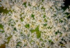Heracleum bonito da pastinaga de vaca Fotografia de Stock Royalty Free