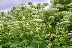 Heracleum Borshevik Sosnovsky, una pianta tossica della pianta fotografia stock