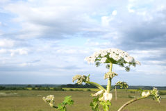 Heracleum in field Stock Photos