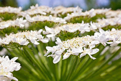 Heracleum flower. Inflorescence of umbellate plant Heracleum Stock Image