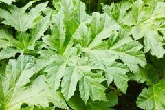 Heracleum - jadowita roślina Gigant Hogweed, Heracleum manteggazzianum fotografia royalty free