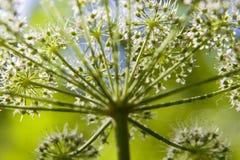 heracleum l hogweed sphondylium Zdjęcie Stock