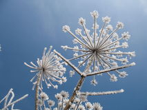 Heracleum mantegazzianum. An old plant in winter Stock Photo