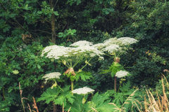 Heracleum maximum, cow parsnip, in flower Stock Photo