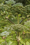 Heracleum Sosnoswskyj. Heracleum Sosnowskyi or Sosnowsky`s Hogweed, is a flowering plant. All parts of plant contain the intense toxic allergen furanocoumarin stock image