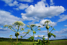 Heracleum sosnowsky. Summer landscape with Heracleum sosnowsky Royalty Free Stock Photography
