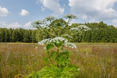 Cow parsnip blooms. Heracleum Sosnowskyi, cow parsnip blooms on a meadow in summer royalty free stock images
