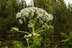 Cow parsnip blooms in summer. Heracleum Sosnowskyi Cow parsnip blooms in summer stock images