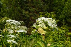 Cow parsnip blooms in summer. Heracleum Sosnowskyi Cow parsnip blooms in summer in a meadow stock images