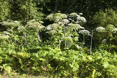 Heracleum sosnowskyi. Or Sosnowsky's Hogweed, is a flowering plant .All parts of plant contain the intense toxic allergen furanocoumarin Royalty Free Stock Photo