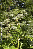 Heracleum sosnowskyi. Or Sosnowsky's Hogweed, is a flowering plant .All parts of plant contain the intense toxic allergen furanocoumarin stock images