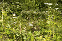 Heracleum sosnowskyi. Or Sosnowsky's Hogweed, is a flowering plant .All parts of plant contain the intense toxic allergen furanocoumarin stock photo