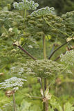 Heracleum sosnowskyi. Or Sosnowsky's Hogweed, is a flowering plant .All parts of plant contain the intense toxic allergen furanocoumarin Royalty Free Stock Photos
