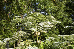 Heracleum sosnowskyi Royalty Free Stock Images