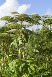 Heracleum sosnowskyi. Or Sosnowsky's Hogweed, is a flowering plant .All parts of plant contain the intense toxic allergen furanocoumarin stock image