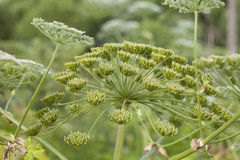 Heracleum sosnowskyi. Or Sosnowsky's Hogweed, is a flowering plant .All parts of plant contain the intense toxic allergen furanocoumarin stock photography