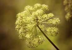 Heracleum sosnowskyi Royalty Free Stock Photos