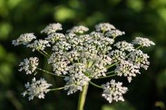 Heracleumen är den giftiga växten Royaltyfria Bilder