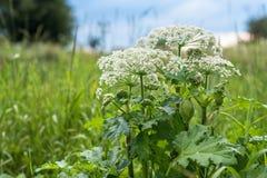 Heracleumen är den giftiga växten Arkivfoto
