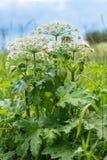 Heracleumen är den giftiga växten Royaltyfri Foto