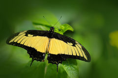 Heraclides androgeus, butterfly in the nature green forest habitat, Mexico and USA, Arizona. Butterfly sitting on the green leave. Royalty Free Stock Images
