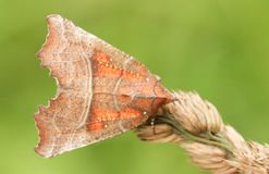 A Herald Moth Scoliopteryx libatrix perched on a grass seed head. Royalty Free Stock Images