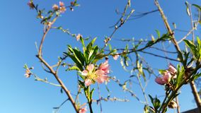Herald of peaches to come. Beautiful peach blossom signaling the oncoming spring. Prunus persica stock photo